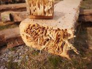 Hevosmuurahaisen syömä hirsi voi näyttää terveeltä