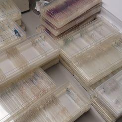Näytteistä tehtyjä preparaatteja mikroskopoitavaksi